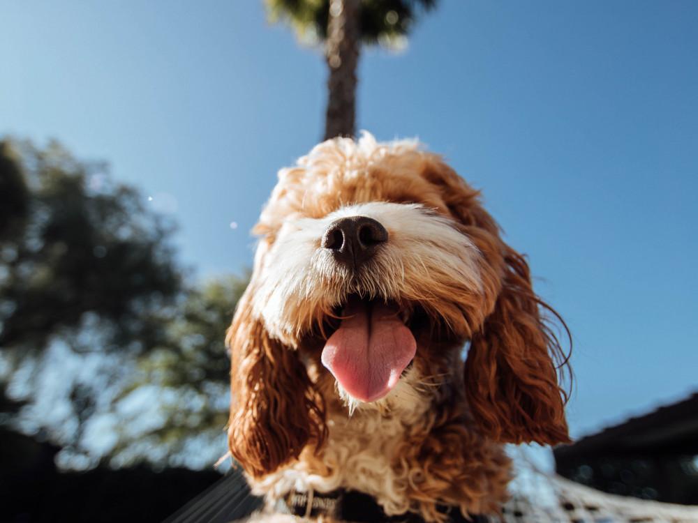 Hund Eivissa